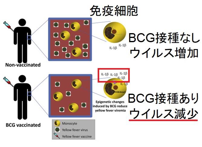 BCGによるIL-1増強を介した実験的ウイルス感染排除を説明する図
