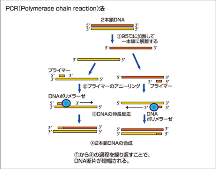 PCR法について説明した図