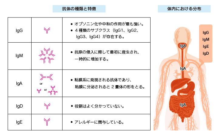 抗体の5種類のクラスについて説明した図