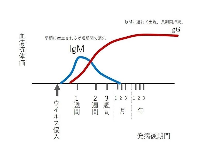IgM抗体 IgG抗体の出現時期の違いを示す図