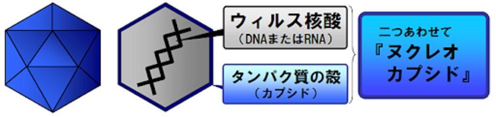 ヌクレオカプシドの構造図
