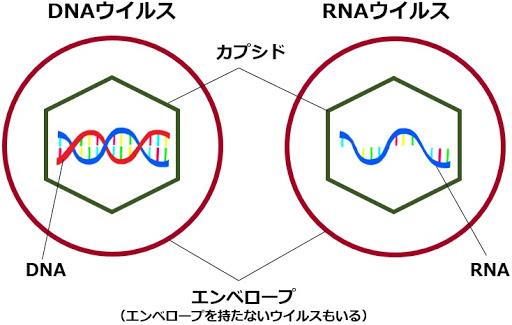 DNAウイルス RNAウイルスの構造図