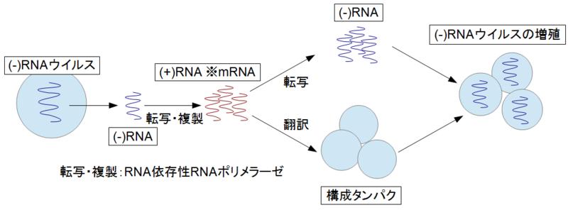 マイナス鎖RNAの複製様式を示す図