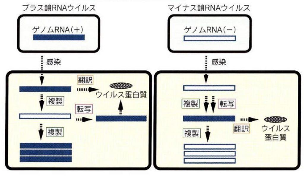 プラス鎖RNA マイナス鎖RNAの違いを示す図