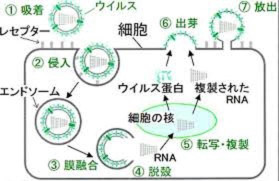 ウイルスの感染と増殖