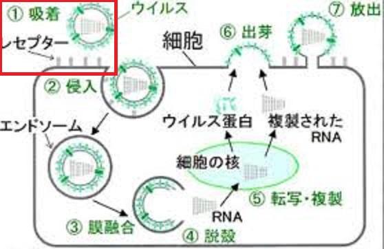 ウイルスの細胞への吸着について説明する図