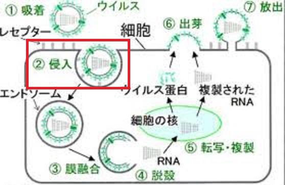 ウイルスの細胞への侵入について説明する図