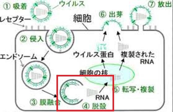 ウイルスの細胞内での脱殻について説明する図