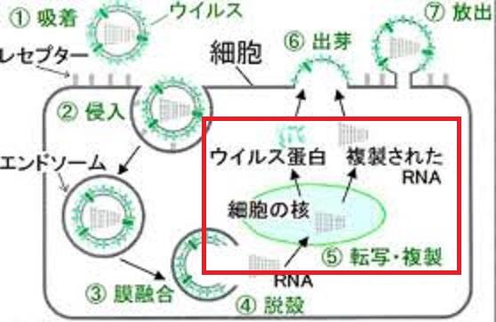 ウイルスの細胞内での遺伝子複製について説明する図