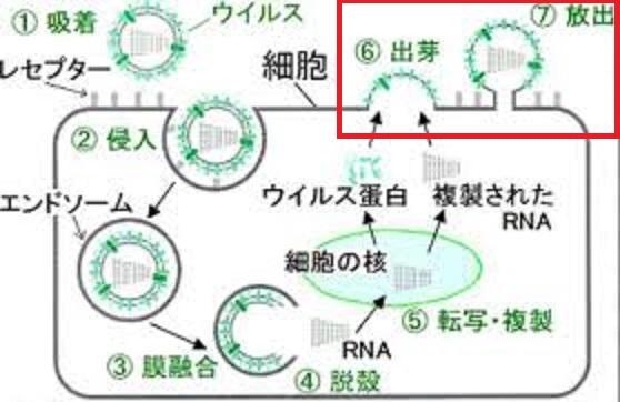 ウイルスの細胞外への出芽・放出について説明する図
