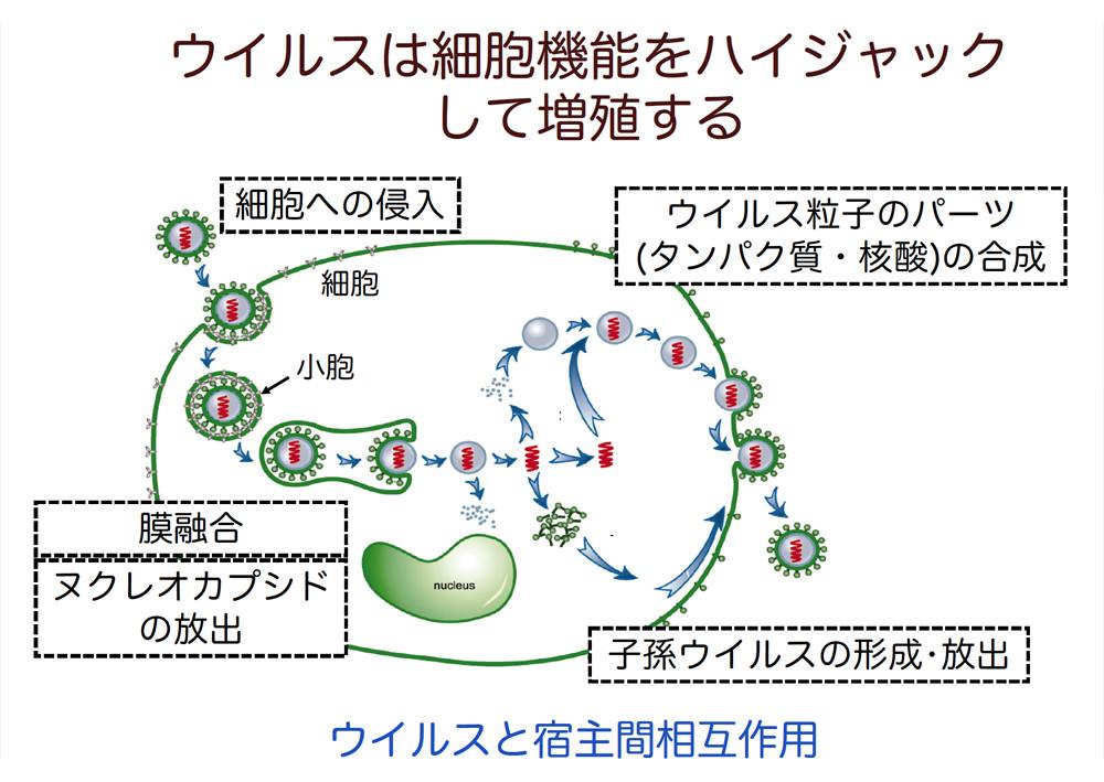 ウイルスは細胞に感染しないと増殖して生きていけないことを示す図