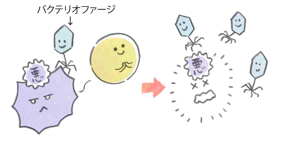 特定の細菌だけ狙い撃ちするバクテリオファージ