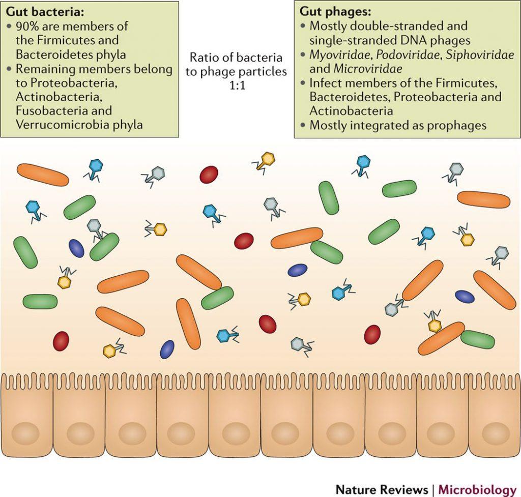 腸内のバクテリオファージについて説明する図