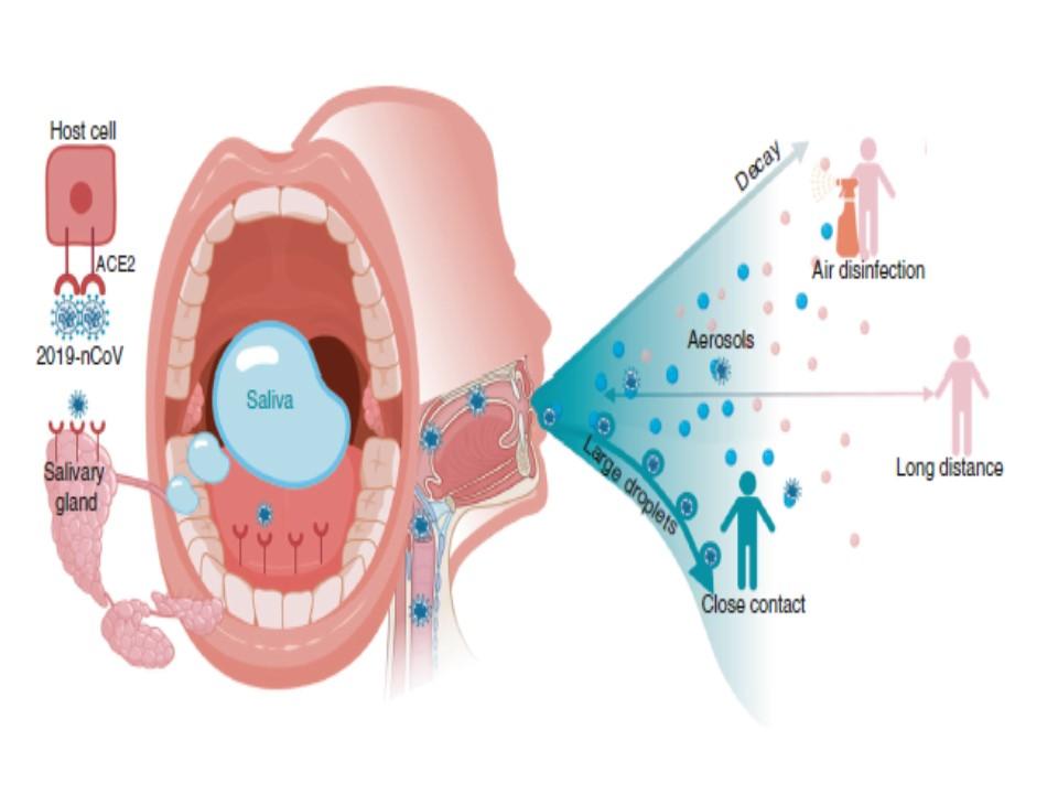 唾液腺のACE2発現を示すイラスト