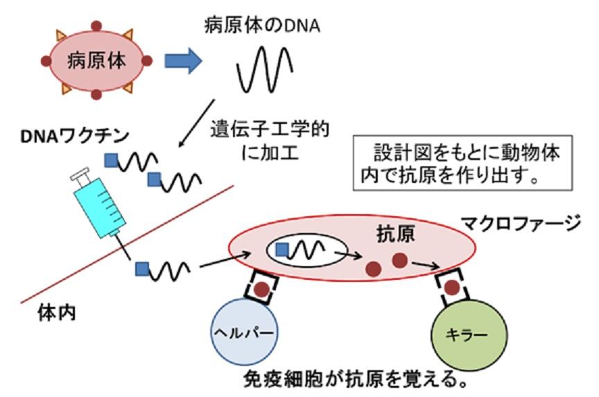 DNAワクチンについて説明する図