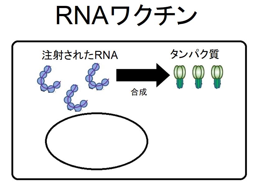 RNAワクチンの説明図