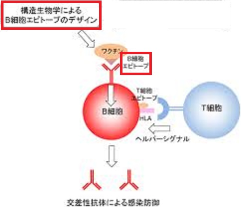 Bリンパ球エピトープについて説明する図