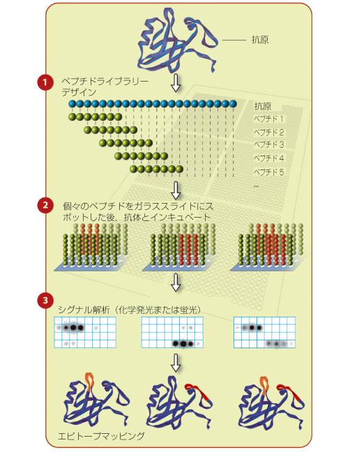 エピトープの同定方法について説明する図