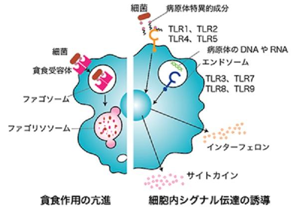 自然免疫について説明する図