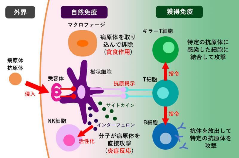 自然免疫と獲得免疫の関連を示す図
