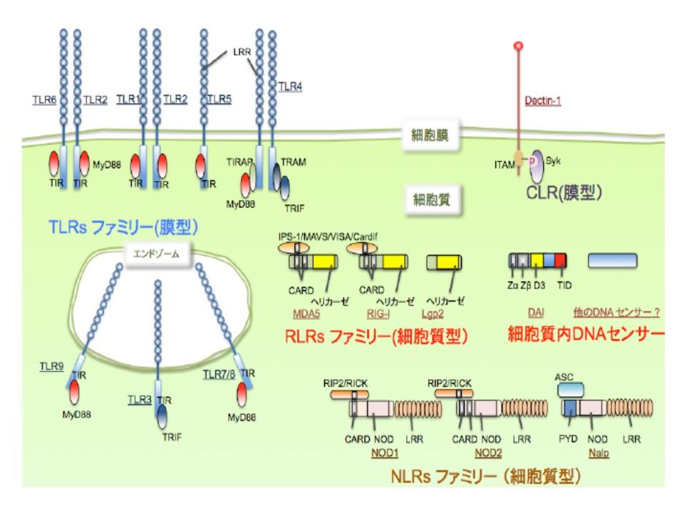 種々のパターン認識レセプターの細胞内局在を示す図