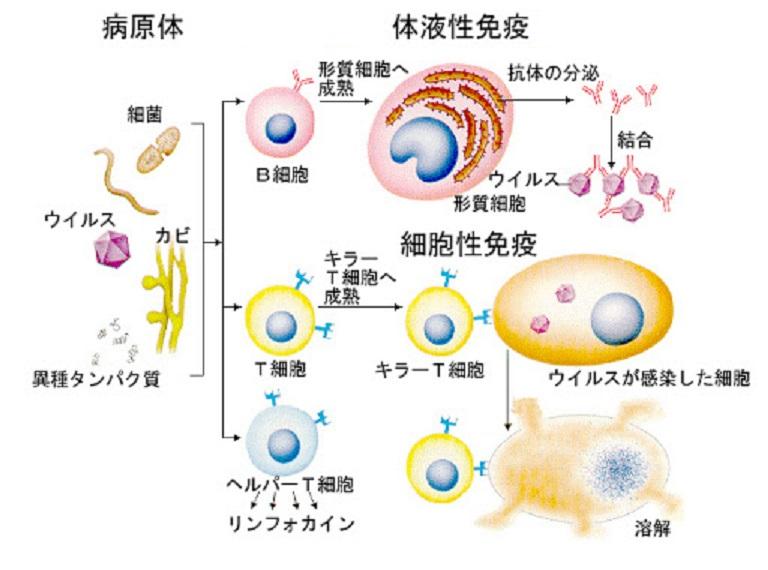 ワクチンが活性化する獲得免疫反応と免疫記憶