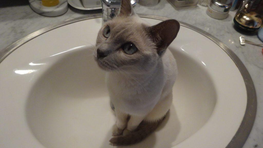 洗面台の中に座りアピールする楓