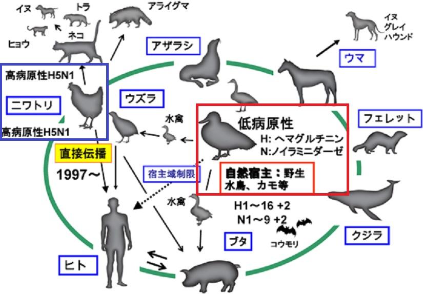 インフルエンザウイルスがニワトリで変異することを示す図
