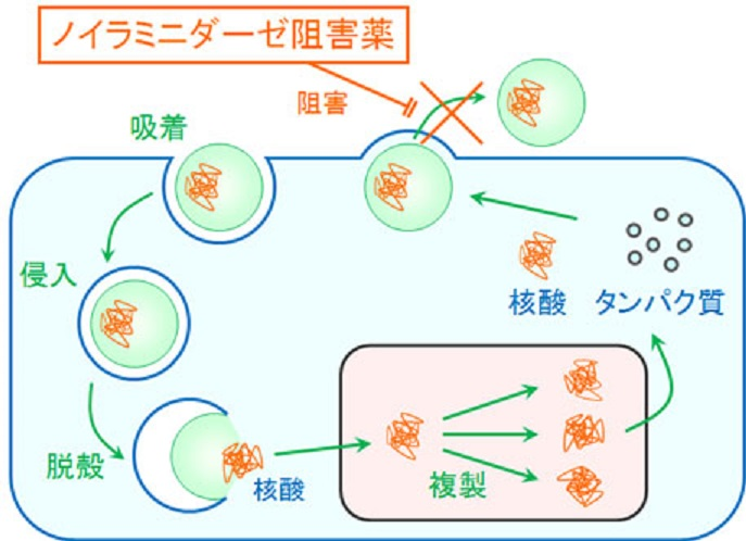 ノイラミニダーゼ阻害薬の作用機序を示す図
