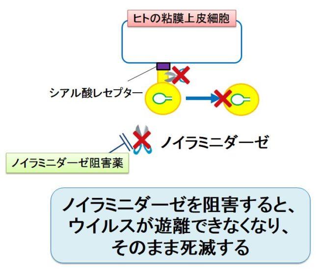 ノイラミニダーゼ阻害薬によるウイルス放出阻害の機序を示す図