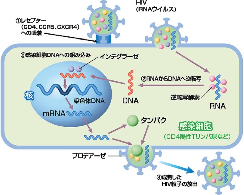 抗HIV薬の作用機序を示す図