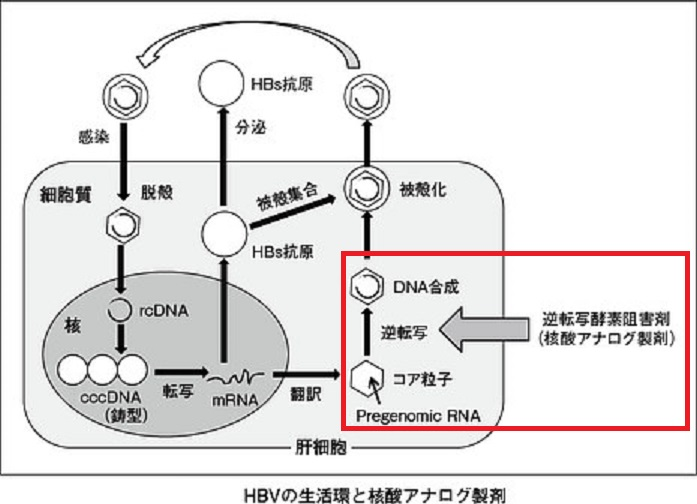核酸アナログ製剤の作用機序を示す図