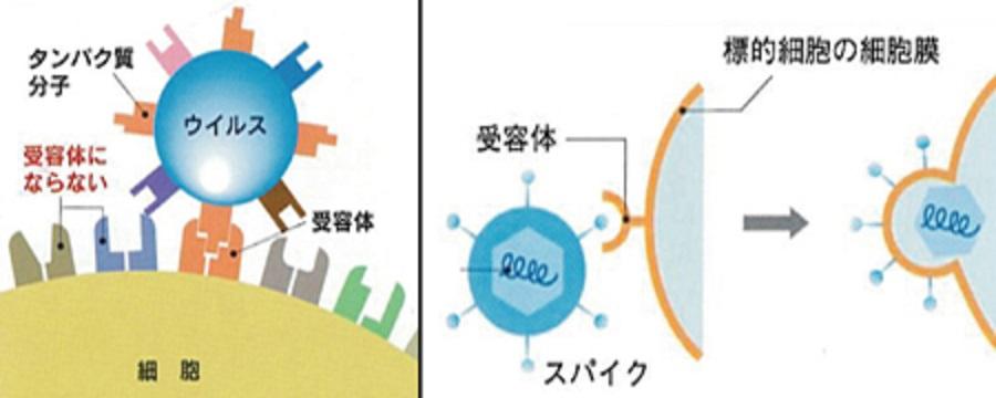 ウイルスの細胞への吸着を説明する図