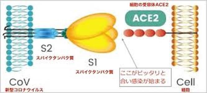 新型コロナウイルスのACE2への結合を示す図