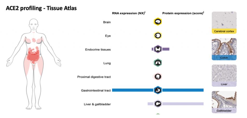 肺の細胞のACE2発現の程度を示す図