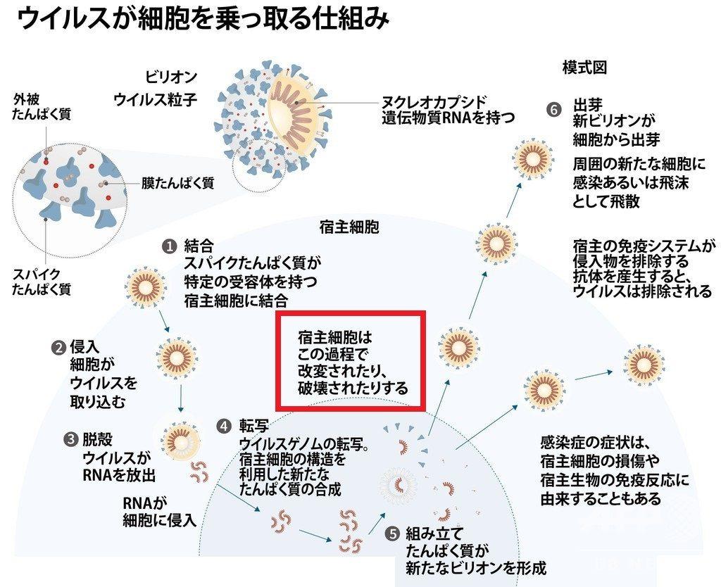 感染した細胞内でウイルス増殖する様子
