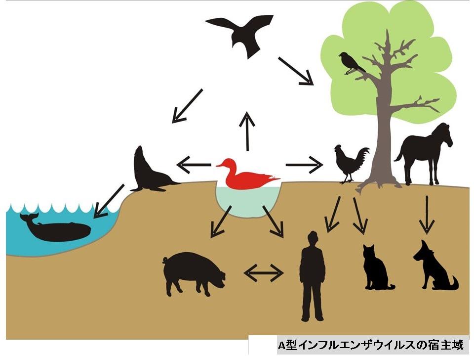 インフルエンザウイルスがさまざまな動物に感染することを示す図