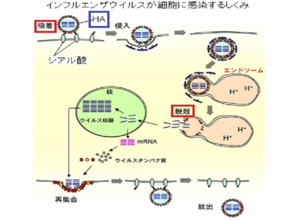 シアル酸とヘマグルチニンの結合を示す図