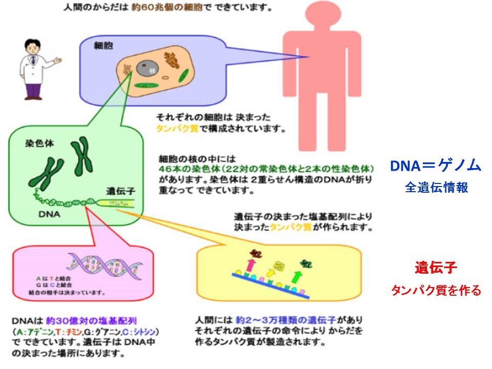 ヒトの遺伝子にはウイルスが忍び込んでいる