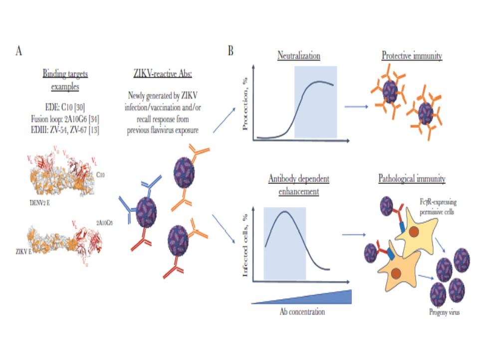 ジカ熱ウイルスに対する悪玉抗体が早期から出現しADEを起こしてしまうことを説明する図