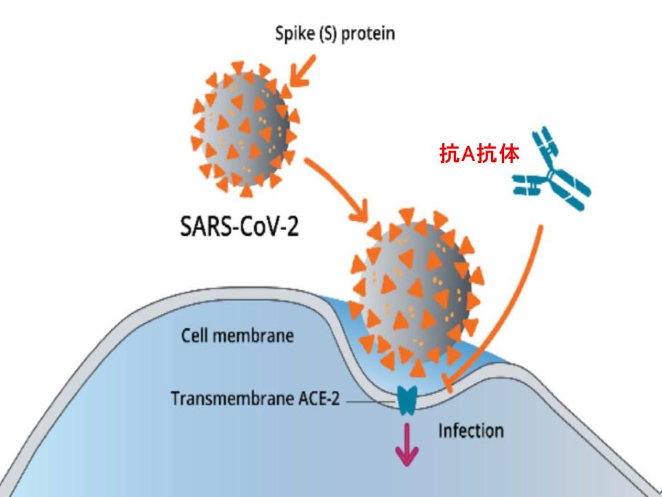 抗A抗体がACE2とウイルスの結合を阻止するイラスト