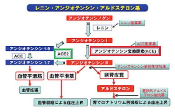 ACE ACE2の作用を示す図