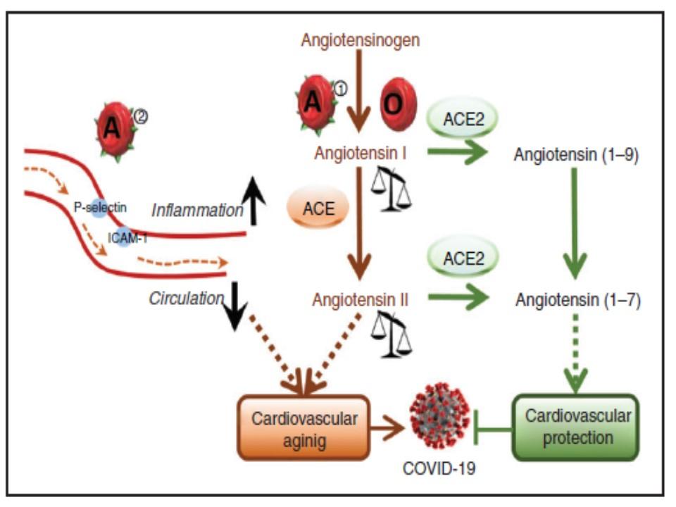 O型 A型のACE ACE2の作用の違いを示す図