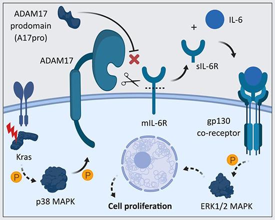 IL-6の可溶性IL-6受容体との結合による複合体形成を示す図