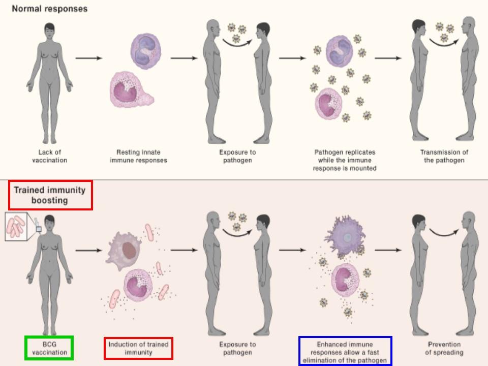 BCGによる免疫訓練強化を示す図
