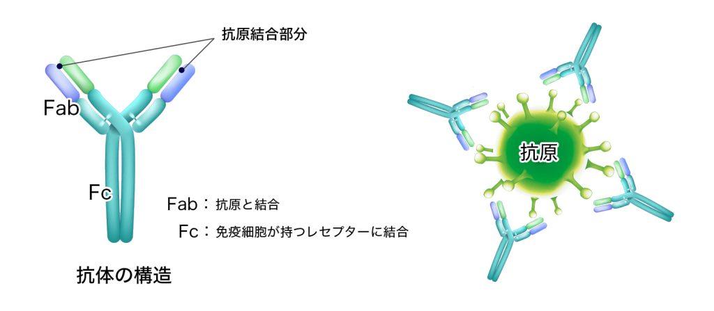 新型コロナウイルスの悪玉抗体