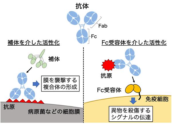 Fc部分の働きを説明する図