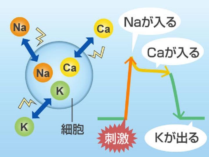 ナトリウムの働きについて説明する図