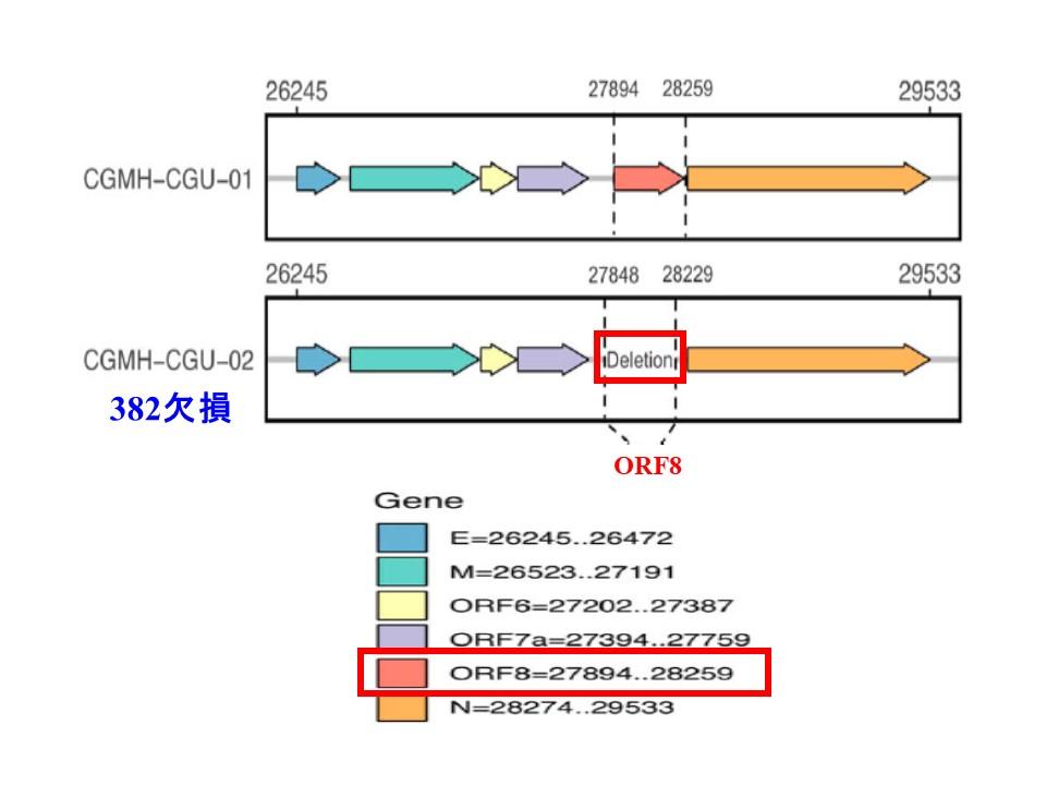 ORF8の塩基配列と382欠損の関係を示した図