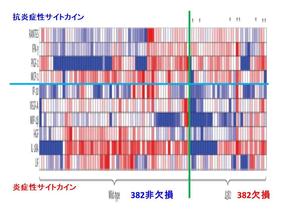382欠損の場合に炎症性サイトカインの産生量が少なくインターフェロンγの産生量が多いことを示す図